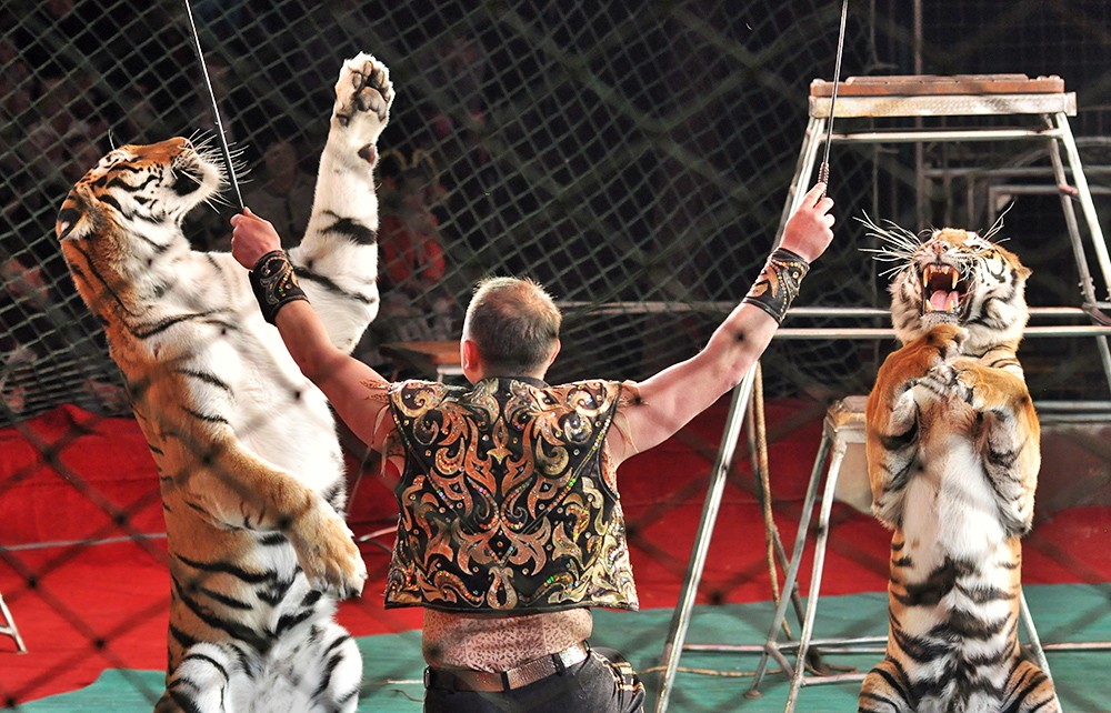 Дрессировщик тигров в цирке