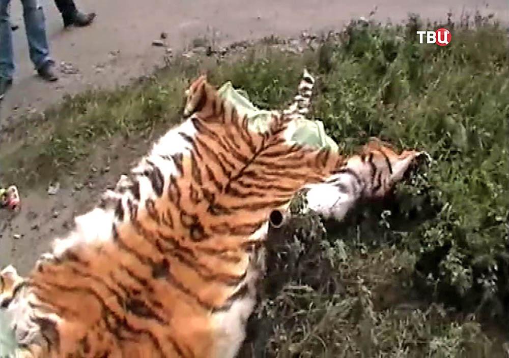 Шкура убитого амурского тигра