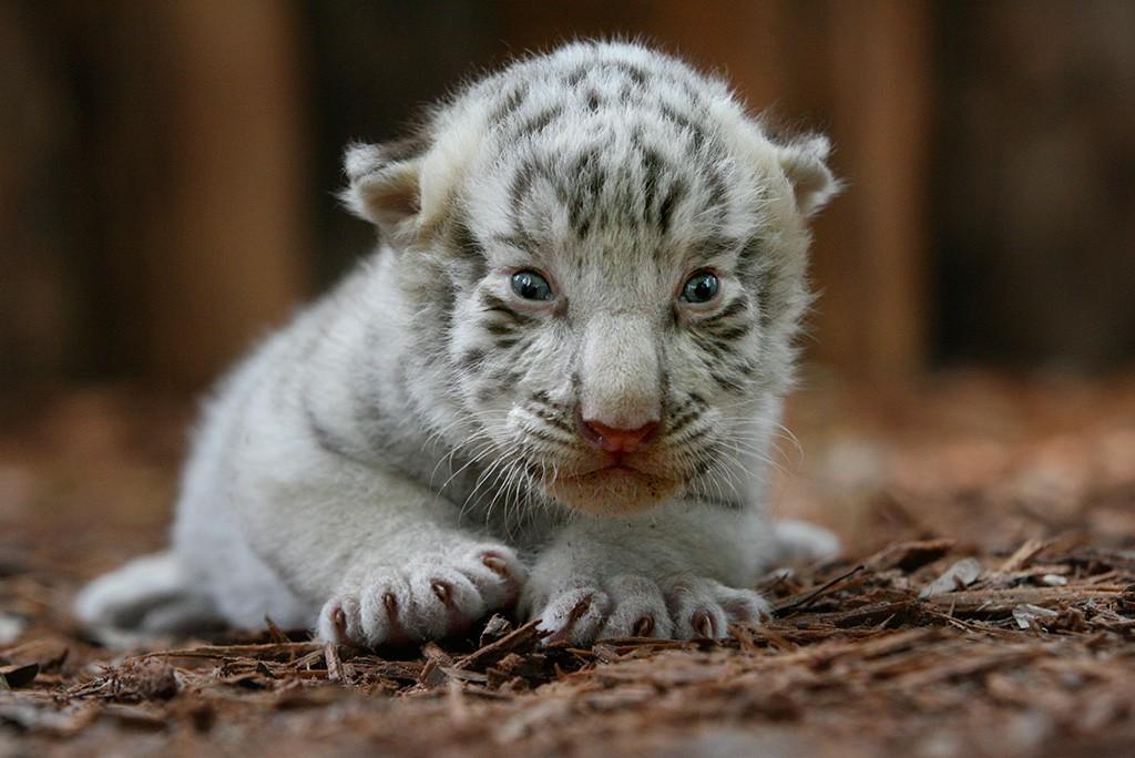 Белый бенгальский тигренок