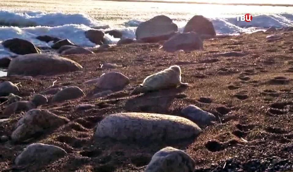 Детеныш кольчатой нерпы на берегу