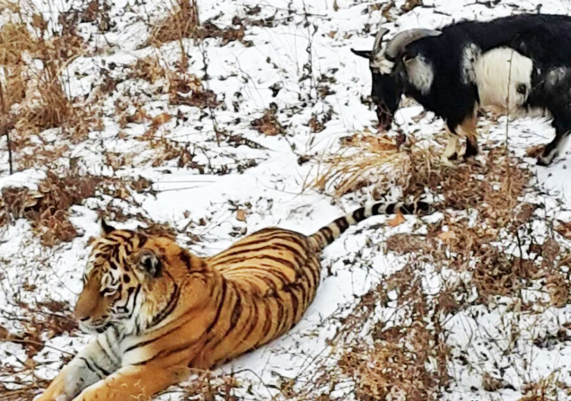 Козёл и тигр в Приморском сафари-парке