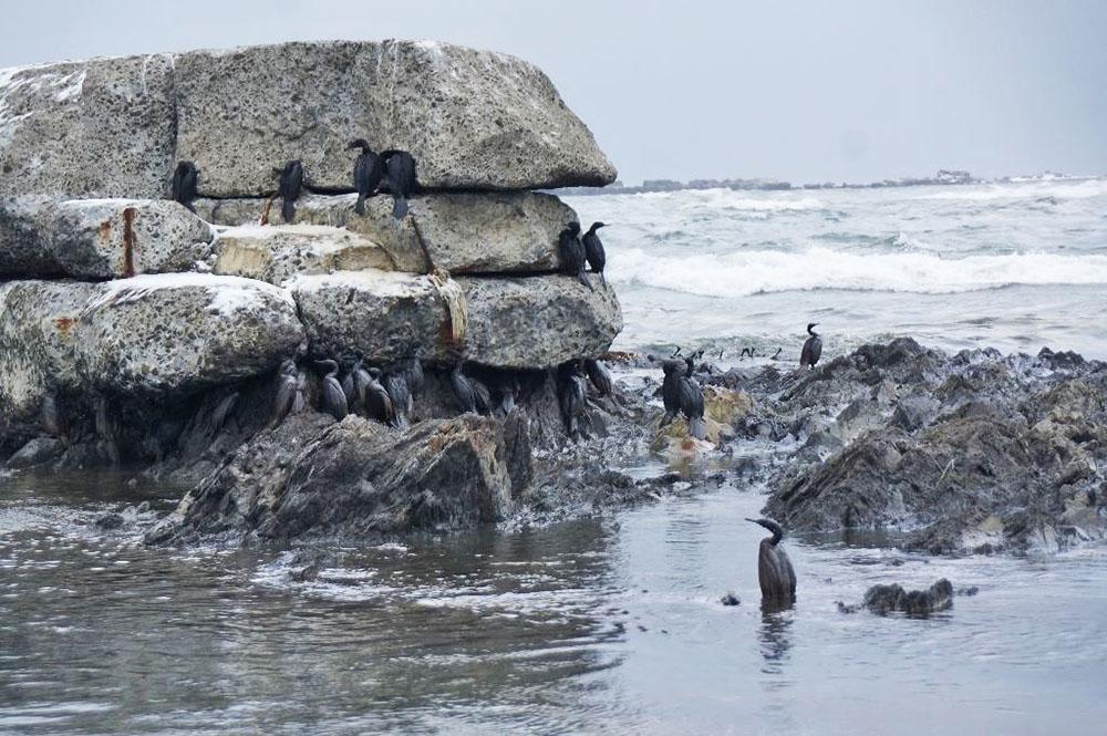 Пострадавшие птицы после нефтяного разлива