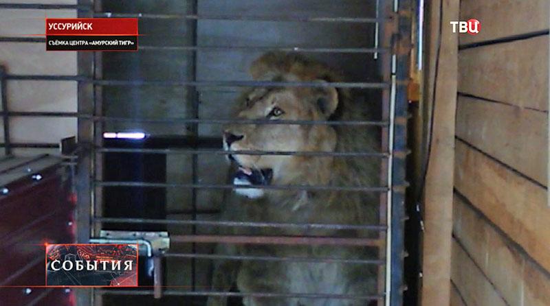 Лев в Уссурийском зоопарк