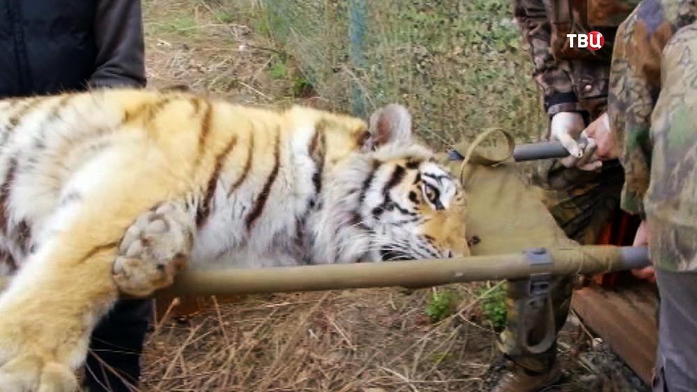 Амурский тигр на носилках