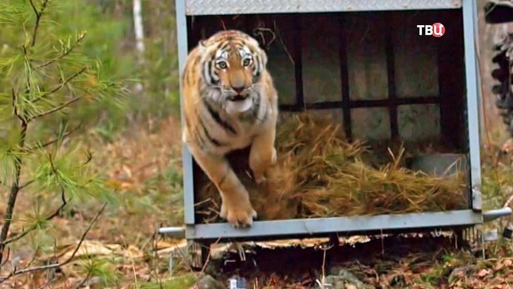 Амурского тигра выпускают на волю