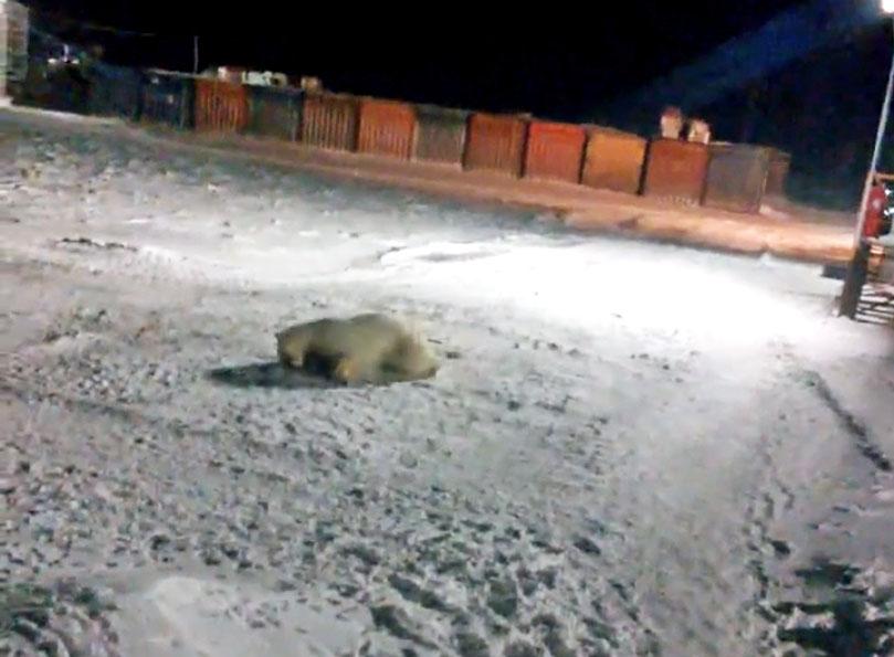 Раненый белый медведь