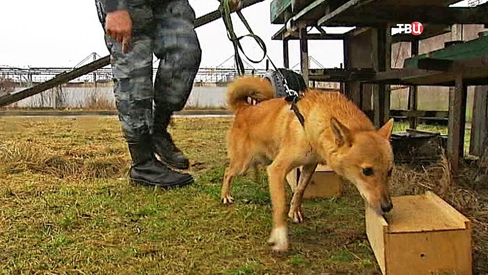 Тренировка служебных собак