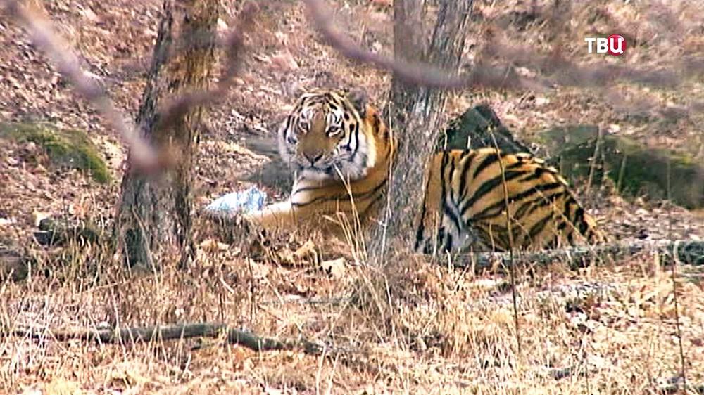 Тигр Амур в Приморском сафари-парке