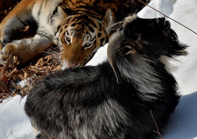 Уссурийский тигр Амур и козел Тимур