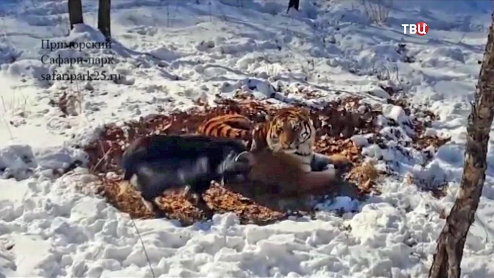 Тигр Амур и козел Тимур в Приморском сафари-парке
