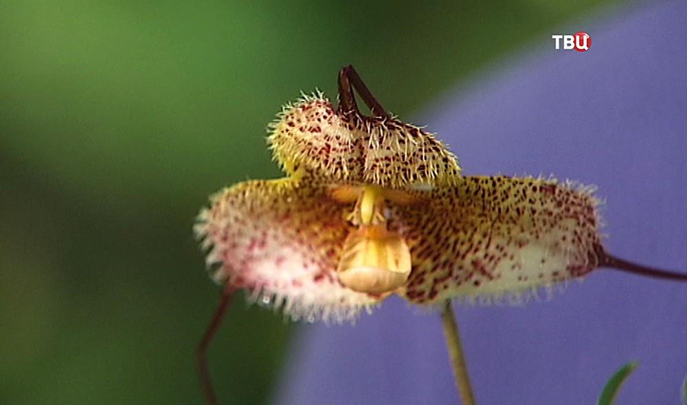 Орхидея Дракула горгона