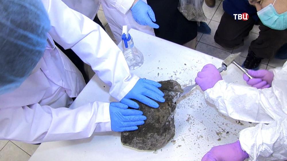Ученые вскрывают окаменелость с пещерным львенком