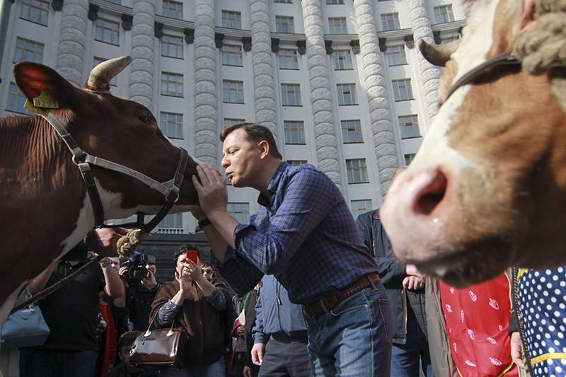 """Лидер """"Радикальной партии"""" Олег Ляшко целует корову"""