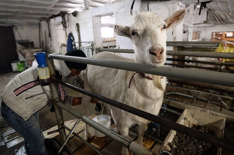 Работница доит козу в фермерском хозяйстве