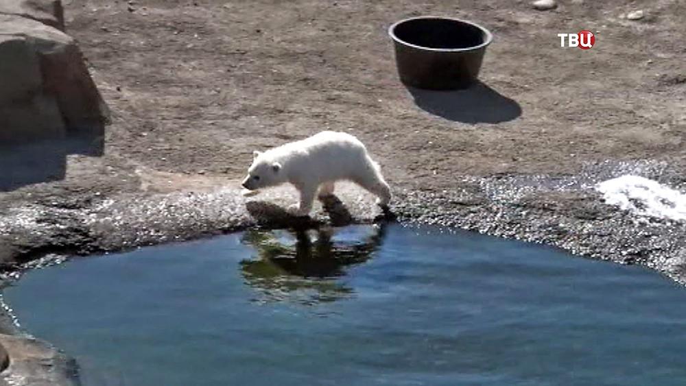 Белый медвежонок в зоопарке