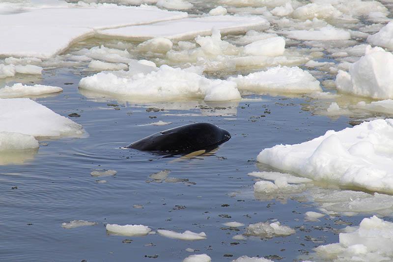 Одна из четырех косаток, зажатых льдинами в Охотском море