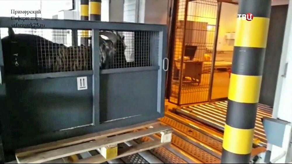 Козел Тимур в клетке в аэропорту