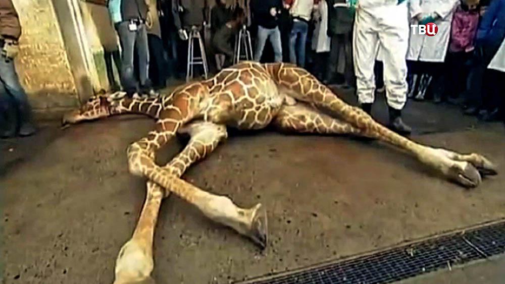 В дацком зоопарке прилюдно убили жирафа