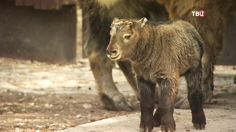 Детеныш такины в Московском зоопарке