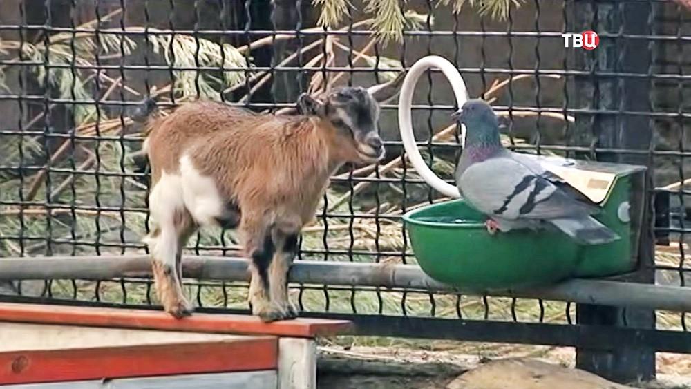 Козленок в зоопарке