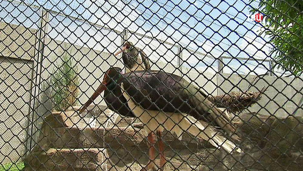 Чёрные аисты в зоопарке