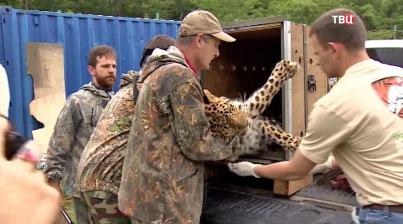 Переселение дальневосточного леопарда
