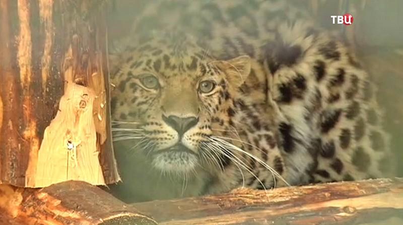 Дальновосточный леопар Николай