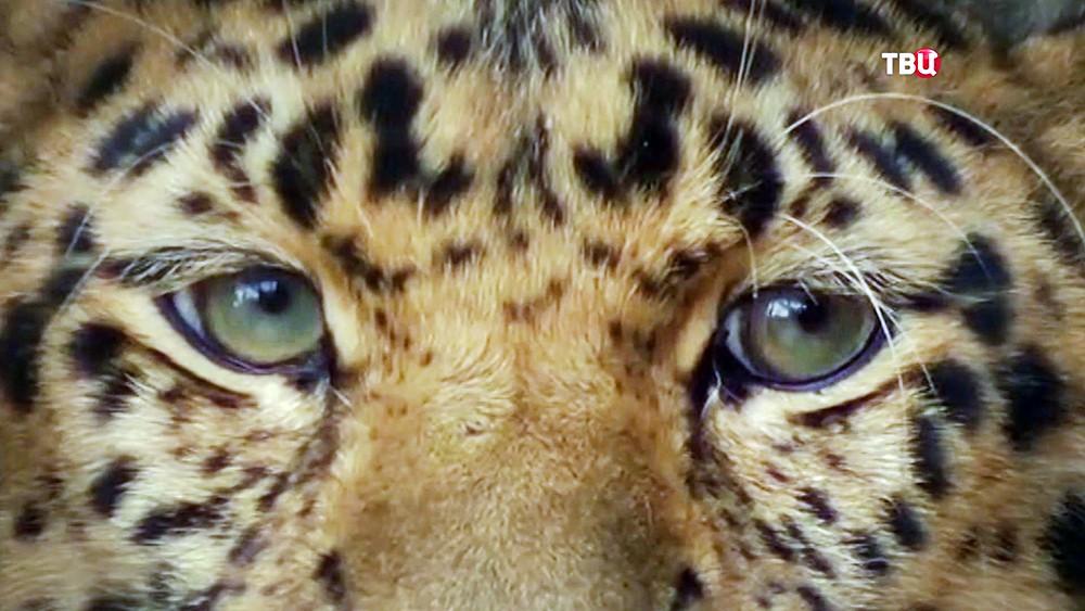 Дальновосточный леопард