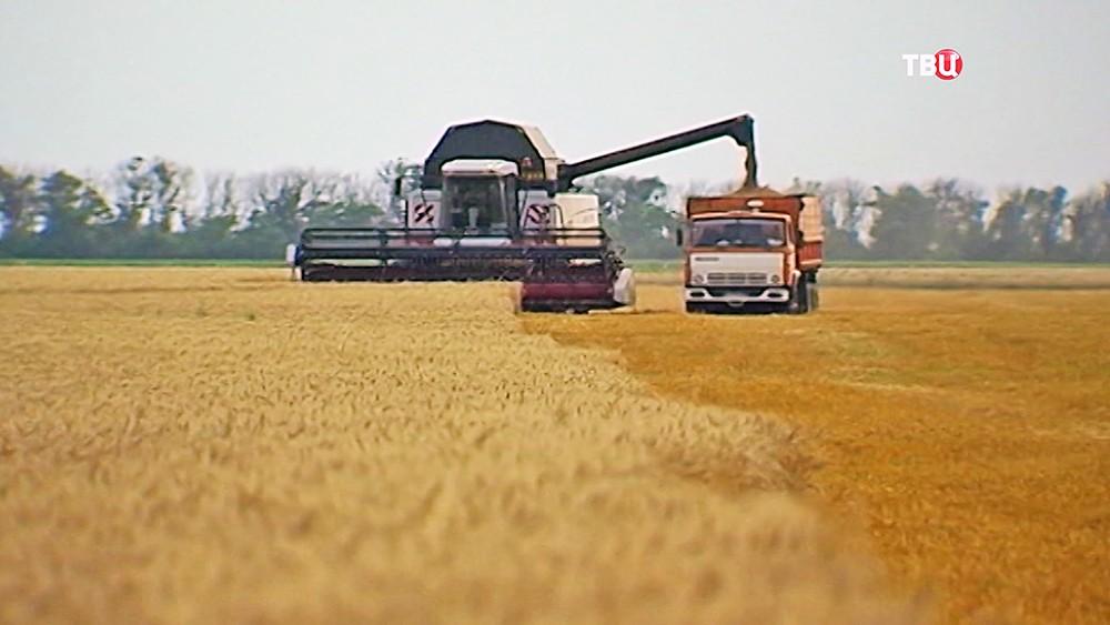 Комбайн собирает пшеницу