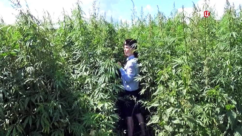 Полицейские обнаружили заросли конопли