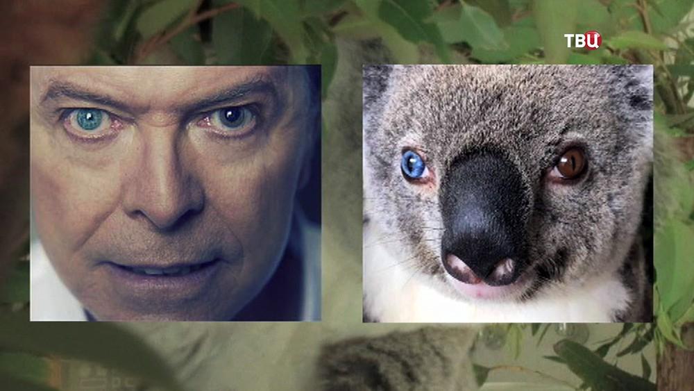 Дэвида Боуи и коала с разноцветными глазами