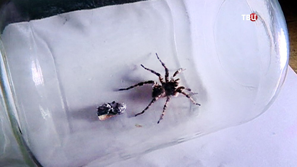 Паук-тарантул в банке