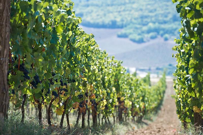 Картинки виноградника в крыму
