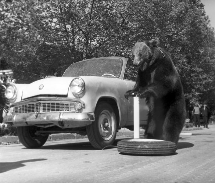 Артист цирка на Цветном бульваре медведь Гоша у автомобиля