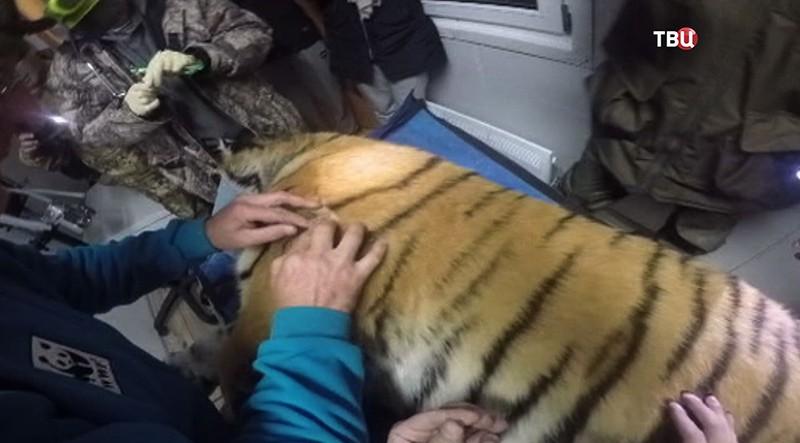 Пойманный тигр