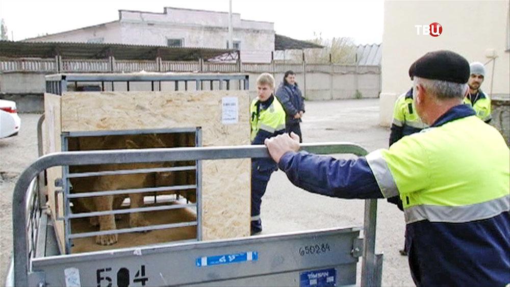 Перевоз львицы в крымский сафари-парк