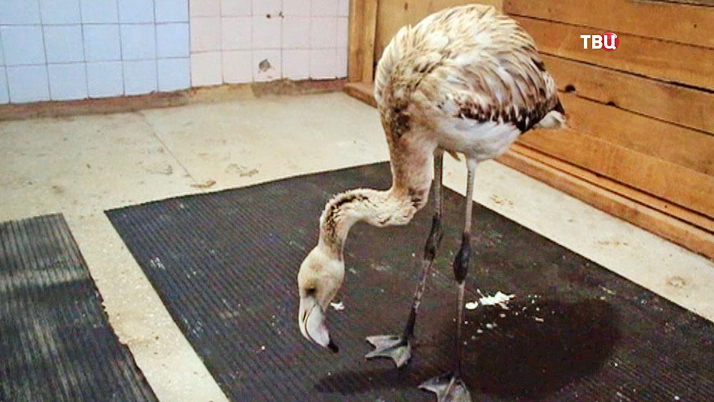 Фламинго в вольере