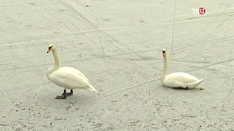 Лебеди с Патриарших прудов