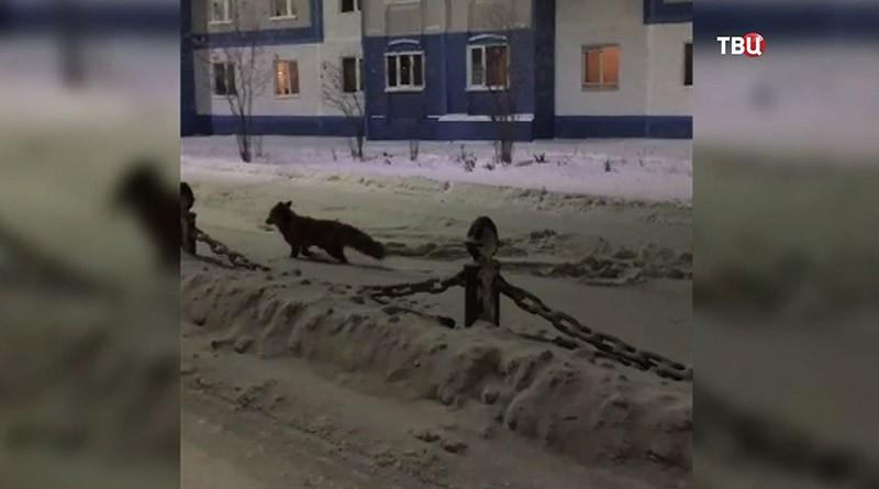Лиса в Москве
