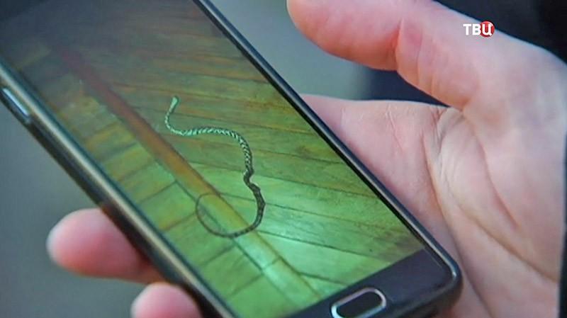 Фотография убитой змеи