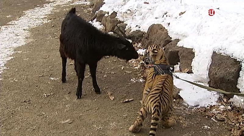 Сын тигра Амура и козел Тимур