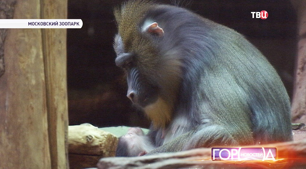 Мандрилы в Московском зоопарке