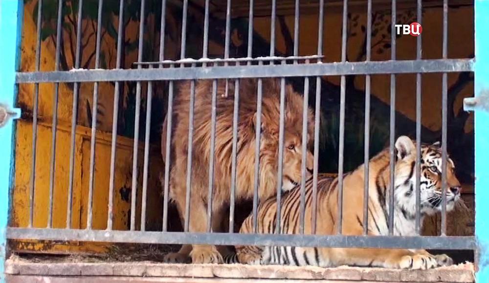 Лев и тигрица в вольере