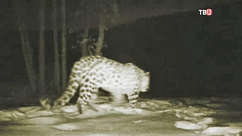 Леопард осваивает переход над Нарвинским тоннелем