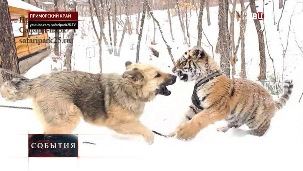 Тигренок Шерхан и собака Тэбаки