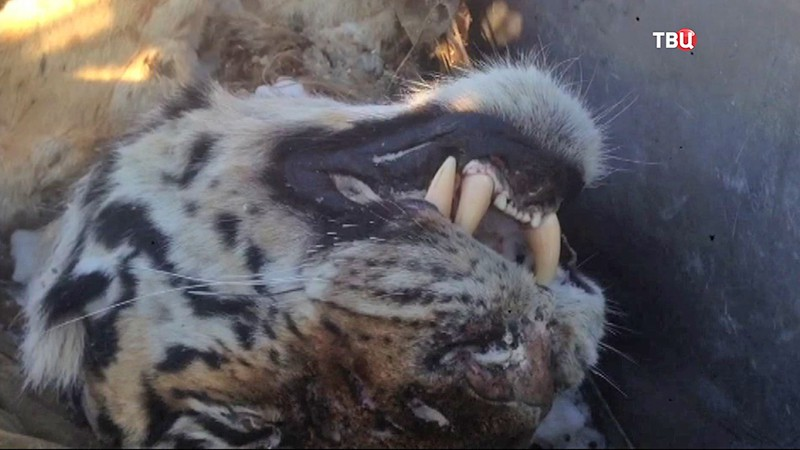 Убитый амурский тигр
