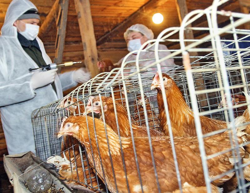 Сотрудники ветеринарной службы проводят проверку птицы