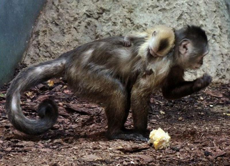 Особи капуцина-плаксы в Московском зоопарке