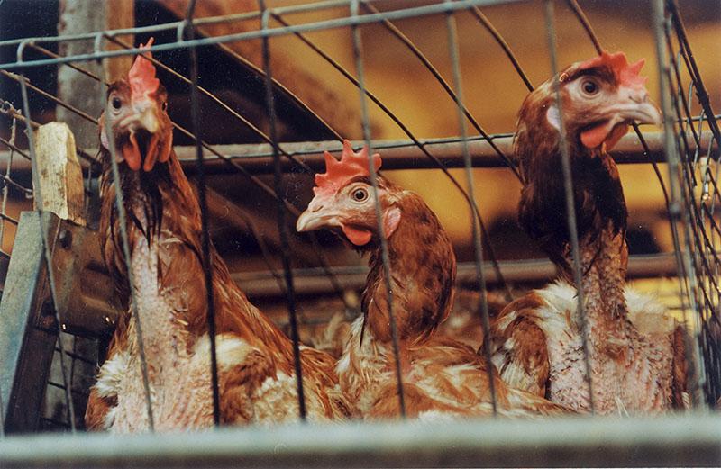Птицеводческое хозяйство