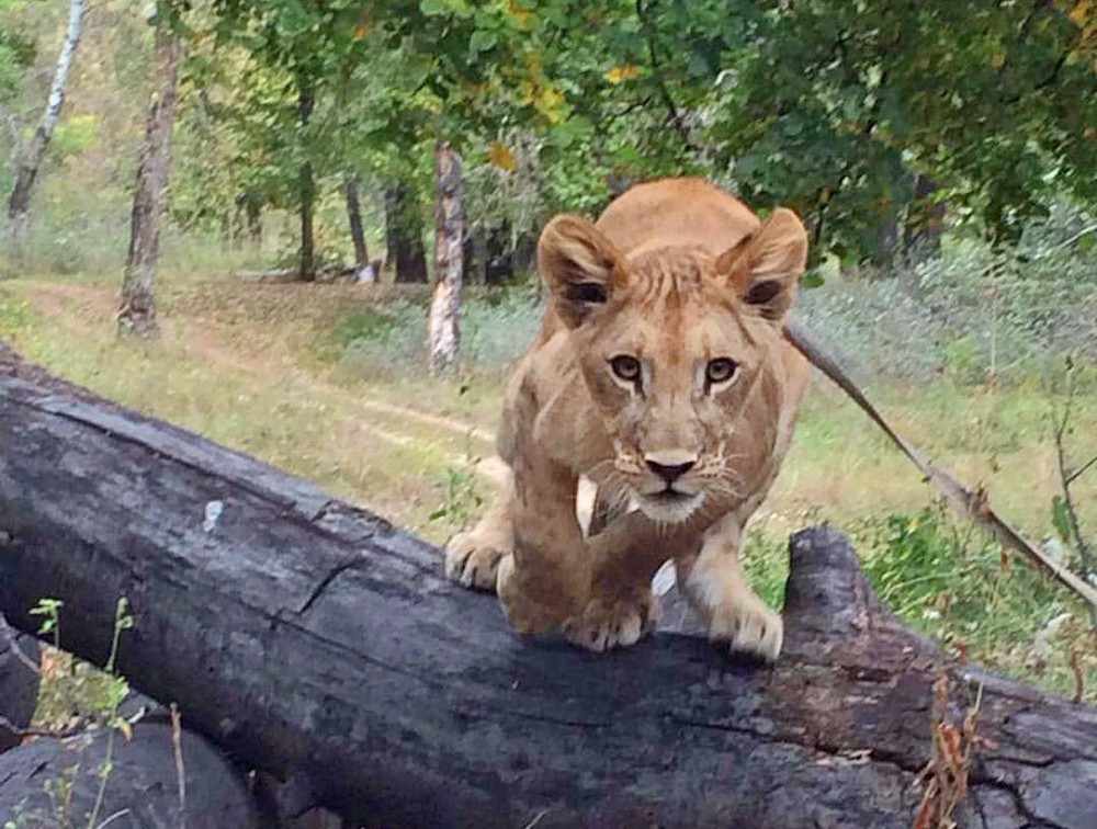 Львица на поводке